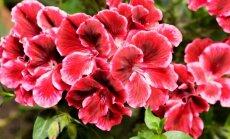 Mylimiausios močiučių gėlės pelargonijos – ne tik kambarinės gėlės