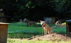Alabamoje pitbuliai gyveno tokiomis sąlygomis, taip pat buvo priversti dalyvauti šunų pjautynėse
