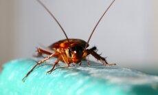 Mirk iš juoko: žmonės išbandė tarakonų gaudymui skirtus klijus