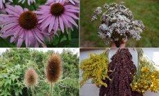 Įsidėmėkite šiuos lauko augalus: dabar nuskinti jie mus džiugins dar labai ilgai