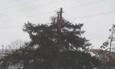 Vienoje intensyviausių Vilniaus sankryžų ties Pramogų arena, medžiai nugenėti praktiškai nuogai