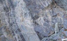 Snieginis leopardas, meistriškai užsimaskavęs kalnuose