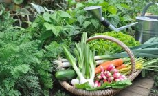 Augalų kaimynystė: kurias daržoves auginti vieną šalia kitos?