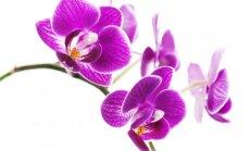 Kaip persodinti vieną populiariausių orchidėjų – falenopsį