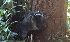 Meškėno patelė moko savo jauniklį lipti į medį/ J. Reid stopkadras