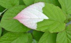 Margalapė aktinidija – valgomais vaisiais ir puošnus augalas, tinkantis vijoklinėms gyvatvorėms.