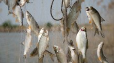 Žuvys tinkluose