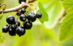Juodųjų serbentų metas: uogakrūmių auginimo ypatybės