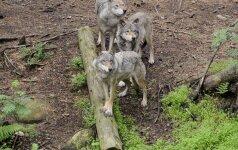 Vilkai Lietuvoje: ar leisti medžioti daugiau?