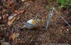Viena iš paukščių nykimo priežasčių - pernelyg intensyvi medžioklė