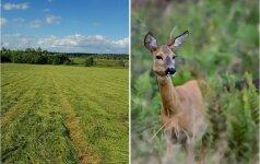 Socialiniuose tinkluose plinta kraupūs vaizdai: laukuose – du sužaloti stirniukai