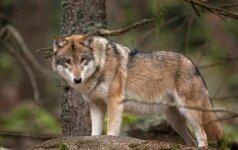 Vilkai moko vaikus medžioti – grobis nuo buliuko iki avino
