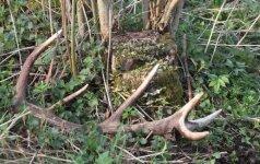 Į miškus – ragų: kur jų ieškoti?