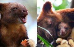 Susipažinkite su medlaipėmis kengūromis: mielam gyvūnui neįmanoma atsispirti