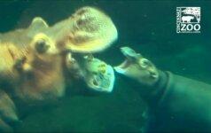 Sinsinačio zoologijos sode – jausmingas begemoto jauniklės susitikimas su tėvais
