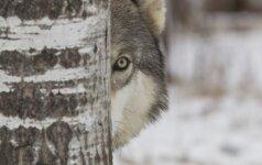 Aplinkos ministras patvirtino vilkų kvotą artėjančiam medžioklės sezonui