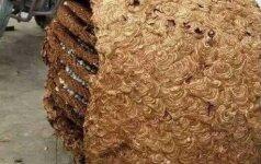 Surado ir labai nustebo: bičių korys sveria kaip vidutinis vyras