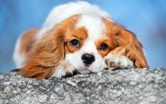 10 ilgiausiai gyvenančių šunų veislių