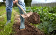 Kokius darbus šiuo metu laikas atlikti sode?