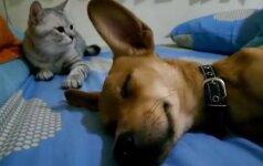 Dienos video: katė piktybiškai neleidžia šuniui miegoti