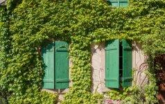 Ar vijokliniai augalai kenkia namo sienoms?