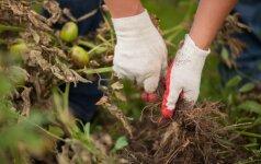 Priemonės, kurios padės įveikti pomidorų marą