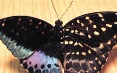 Gamtos išdaigos: drugelis, turintis dvi lytis