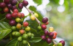 Descendants of Lithuanian nobility run big coffee business in El Salvador