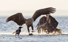 Sustabdyta akimirka: dėl žuvies galvos erelis gentainį murkdo mariose