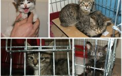 Gyvūnų globėjai: per pirmą naktį nugaišo 3 iš vilnietės konfiskuoti kačiukai