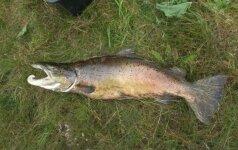 Lašiša, dėl kurios džiaugiasi ir žvejas, ir aplinkosaugininkai