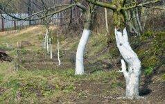 Medžių balinimas: ar šį darbą geriausia atlikti rudenį?