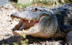Gamtos rezervate lankytojus apstulbino laisvai vaikštantis milžiniškas aligatorius