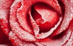 Kaip teisingai dengti rožes?
