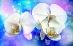 Konkursas: mano gražiausia orchidėja