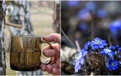 Galime drąsiai skelbti pavasarį: jau šį savaitgalį pradžiugins pirmosios žibutės