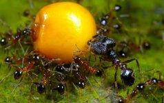 Jokių nuodų: natūrali priemonė nuo skruzdėlių