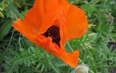Daržinių aguonų sėklas maistui naudojame dažnai, bet auginti jas draudžiama.