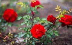 Sužinokite, iki kada rudenį galima sodinti daugiamečius augalus