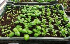 Prieskoninių augalų sėja kovo mėnesį