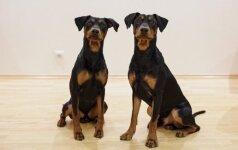 Vokiečių pinčerius auginanti pora: rūpesčiai, sukelti mažų šuniukų, greitai pasimiršta