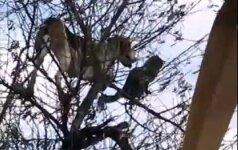 Kokiu būdu šuo įsikabarojo į medį?