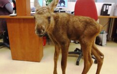 Gyvūnų gelbėtojai: kas savaitę po briedį, arba kodėl lieki kalčiausias