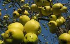 Obuoliai veikia kaip vaistas ir padeda sulieknėti