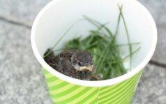 Kaip tėvams grąžinti iš lizdo iškritusį paukščiuką?