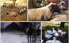 Miestiečiai, atsidėję avių ir česnakų auginimui kaime: mieste vargino beprasmybė ir vartojimo mastai