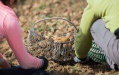 Prekyba rudens gėrybėmis: bulvės išsiskyrė iš kitų daržovių