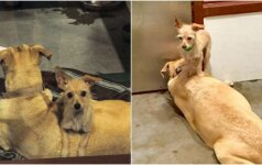 Prieglaudos darbuotojus nustebino neišskiriamų šunų draugystė: jie tarsi suklijuoti
