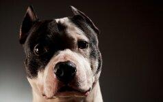 Gali nelikti pavojingų šunų veislių sąrašo