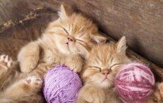 Napoleono katės – pliušinio kailio didžiaakės